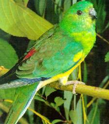 попугай певчий