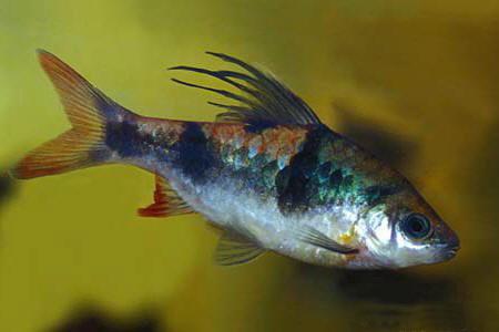 Барбус косицеплавничный (Barbus arulius)