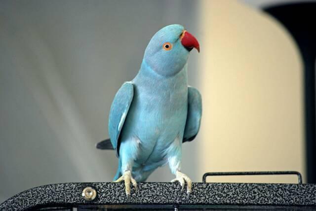 Другое название - попугай Крамера.  Величина птицы 42 см. У взрослого самца оперение зеленое с красивым голубым.