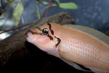 Халинохромис Бришара зоофан