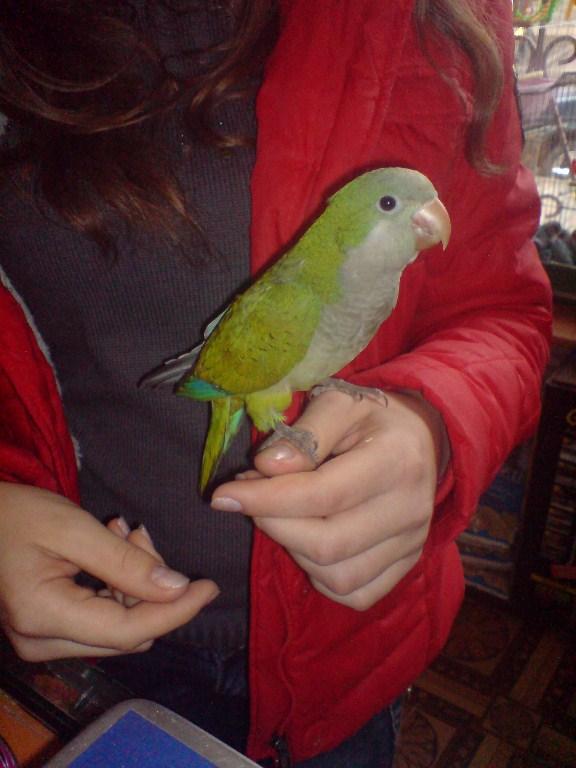 попугай монах калита