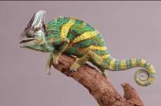 хамелеон еменский