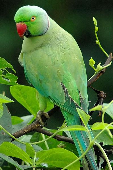 ожереловый попугай зеленый крамера