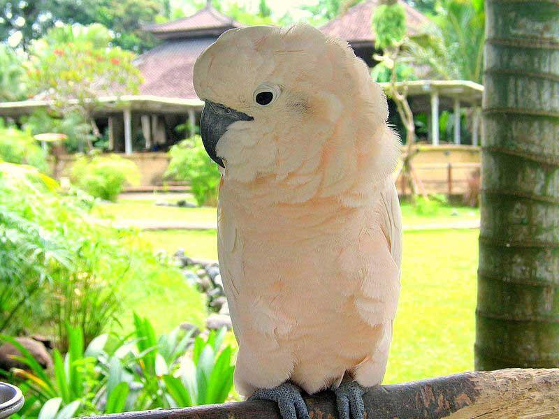 Молуккский какаду: Cacatua moluccensis