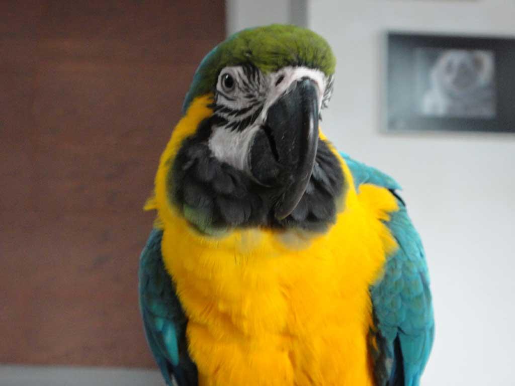 жолто синий ара-2