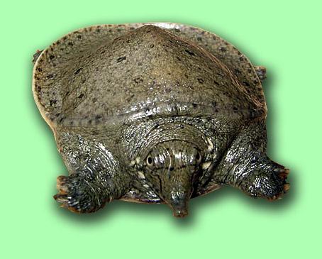 trionyx-sinensis
