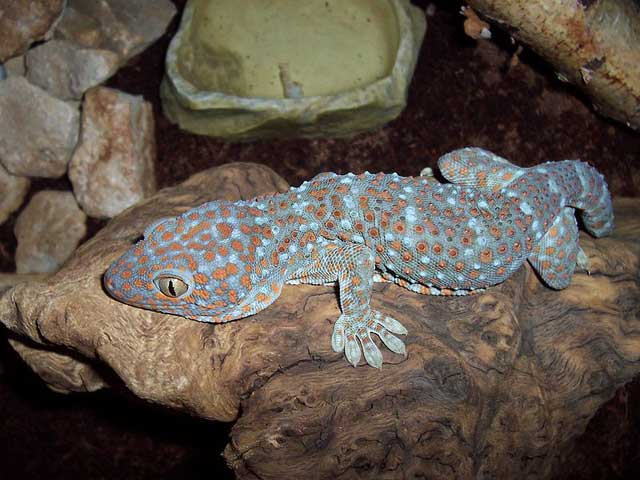 gekko-gecko