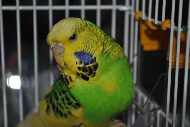 зеленая самка выставочного попугая