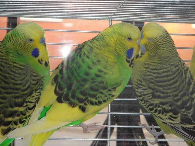выставка попугаев чехов