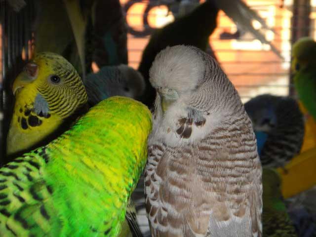 выставочная самка волнистого попугая