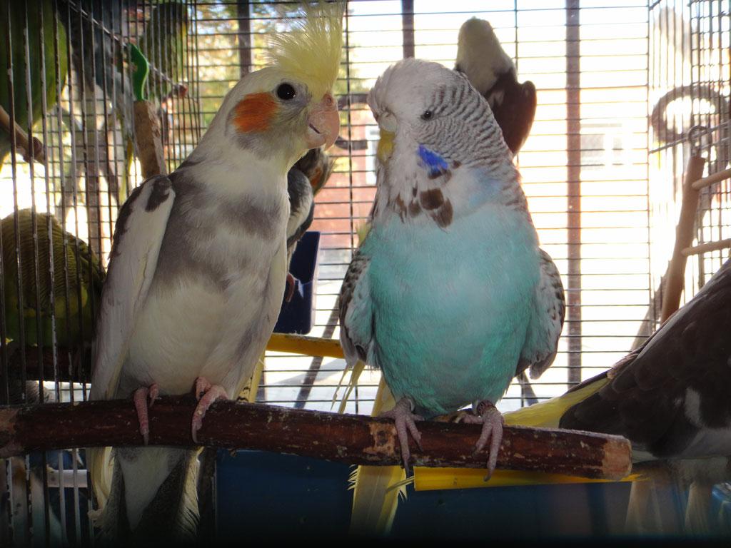 чехи волнистые попугаи зоофан