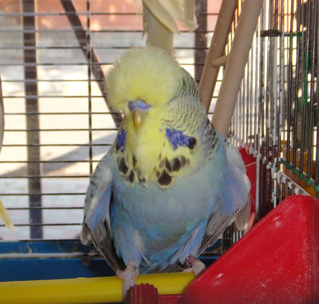 выставочный волнистый попугай Чех зоофан