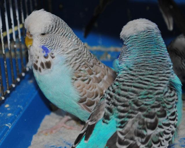 выставоный попугай