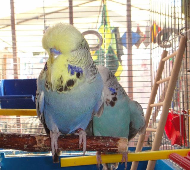 выставочный попугай чех