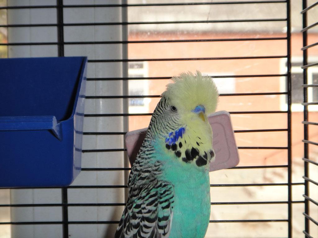 выставочный попугай чех берюзовый