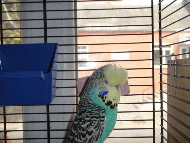 Чешонок выставочный попугай
