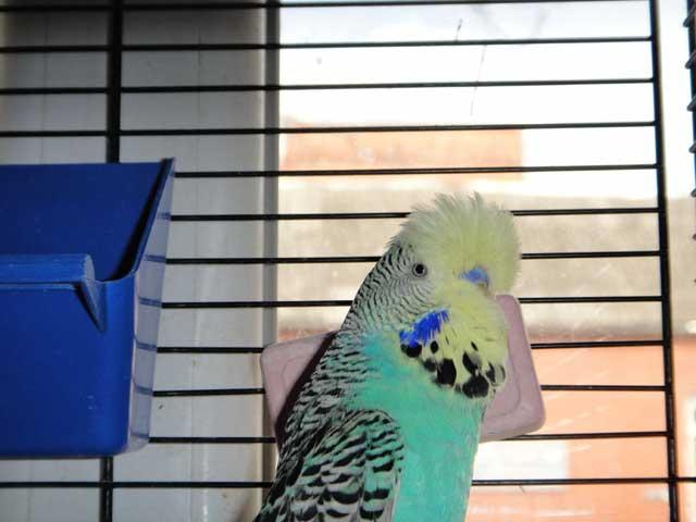 Выставочный попугай чех Зоофан