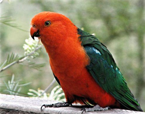 Королевкий попугай