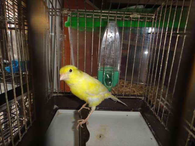 кенар жёлтый